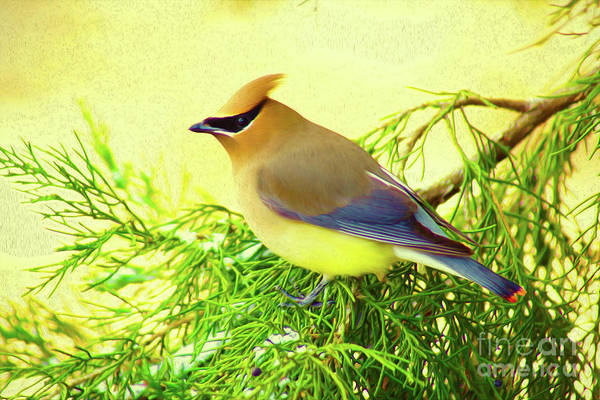 Digital Art - Cedar Waxwing Beauties 20 by Kim Pate
