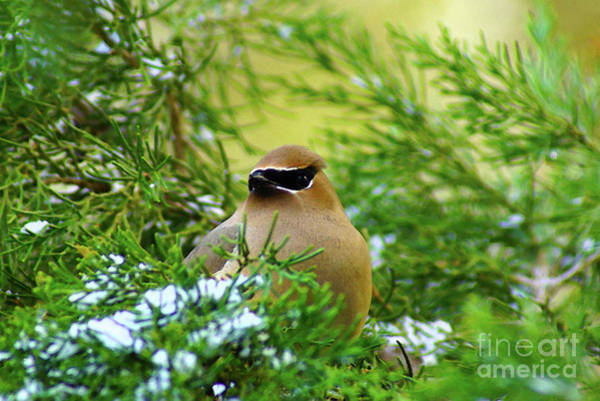 Digital Art - Cedar Waxwing Beauties 4 by Kim Pate