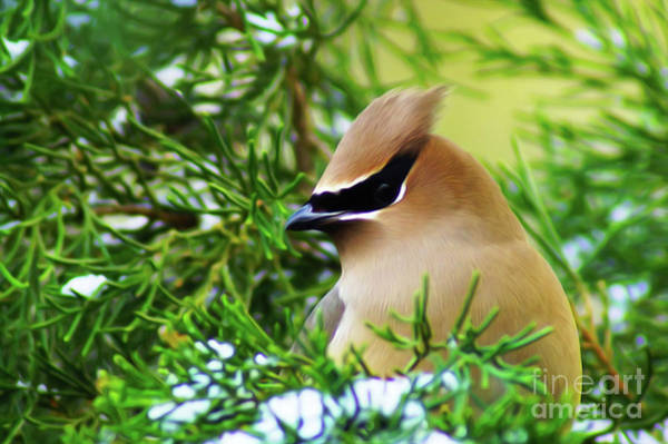 Digital Art - Cedar Waxwing Beauties 6 by Kim Pate