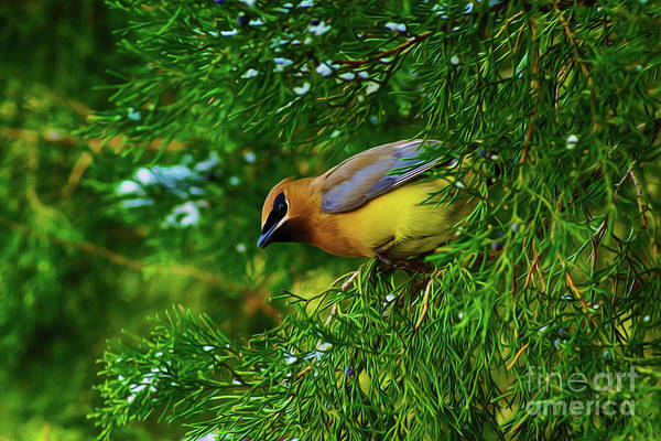 Digital Art - Cedar Waxwing Beauties 8 by Kim Pate