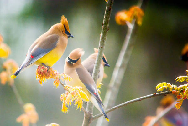 Photograph - Cedar Waxwing Beauty by Parker Cunningham