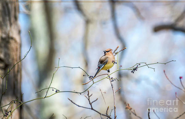 Photograph - Cedar Waxwing Bird In A Bush With Berries During Springtime by Patrick Wolf