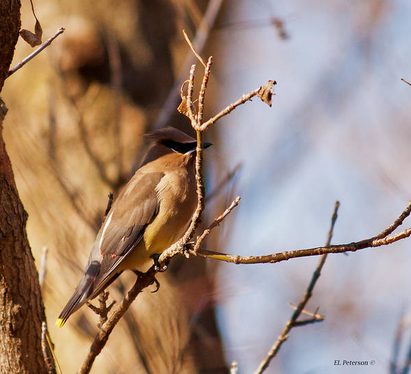 Photograph - Cedar Waxwing In Autumn by Edward Peterson