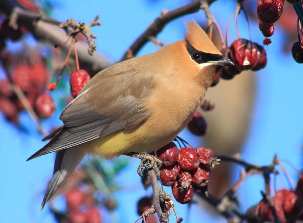 Wall Art - Photograph - Cedar Waxwing In Fruit Tree by John Burk