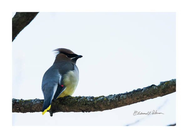 Photograph - Cedar Waxwing In Spring by Edward Peterson