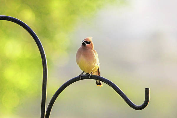 Wall Art - Photograph - Cedar Waxwing In The Morning Light by Jennie Marie Schell