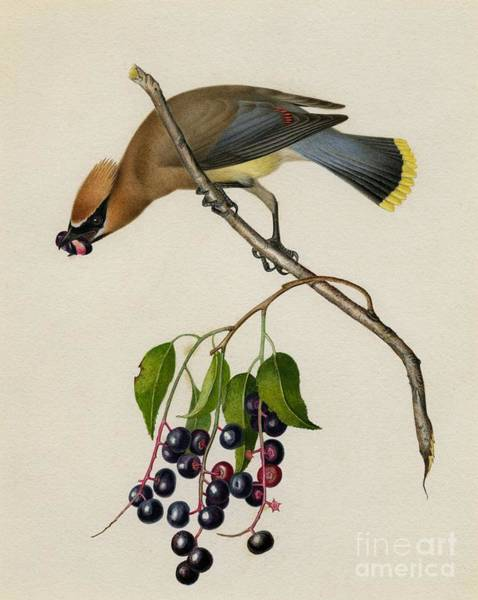 Painting - Cedar Waxwing by Celestial Images