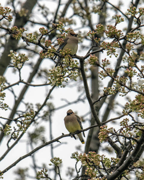 Photograph - Cedar Waxwings In A Blossoming Tree by William Bitman