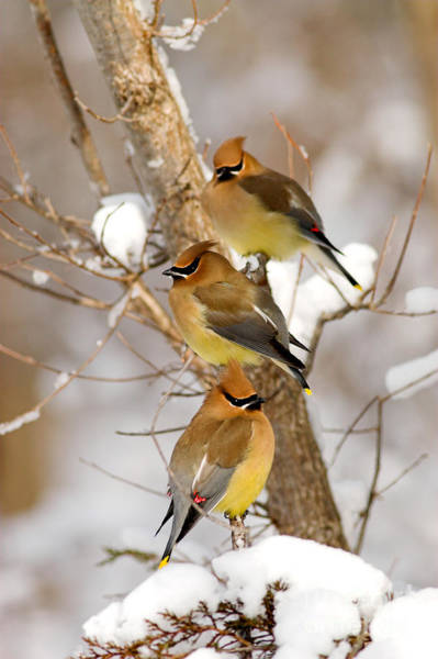 Photograph - Cedar Waxwings by Kenneth M Highfill