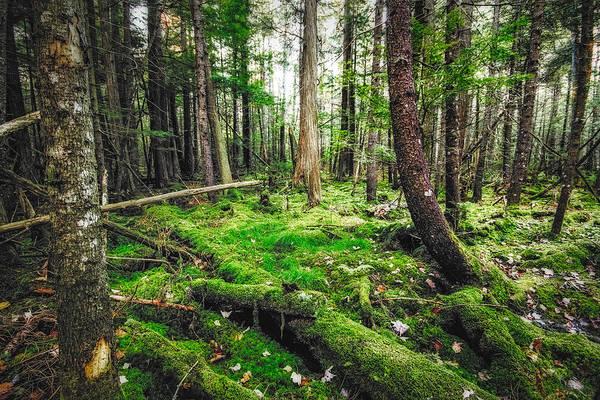 Photograph - Cedar Woods by Robert Clifford