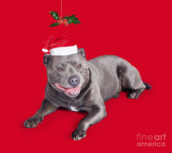 Pedigreed Photograph - Celebrating Christmas With A Blue Staffie Dog by Jorgo Photography - Wall Art Gallery