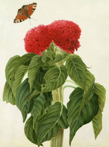 Butterfly Drawing - Celosia Argentea Cristata And Butterfly by Matilda Conyers
