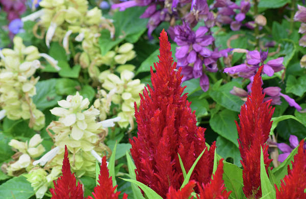 Photograph - Celosia by Larah McElroy