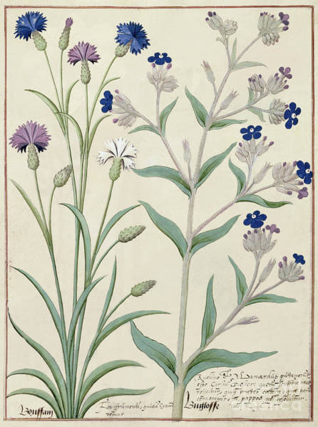 Homeopathy Drawing - Centaurea Montana And Cornflowers by Robinet Testard