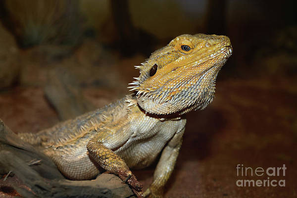 Wall Art - Photograph - Central Bearded Dragon By Kaye Menner by Kaye Menner