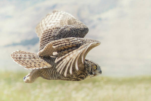 Owl In Flight Photograph - Central Oregon Great Horned Owl by Angie Vogel