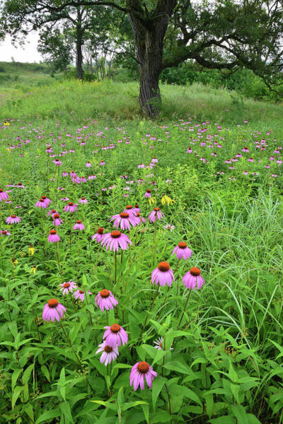 Photograph - Chain-o-lakes Coneflowers by Ray Mathis
