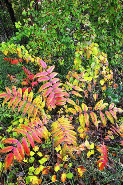 Photograph - Chain-o-lakes State Park Sumac In Full Color by Ray Mathis