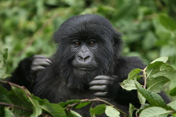 Wall Art - Photograph - Challenge - Mountain Gorilla by Bruce J Robinson