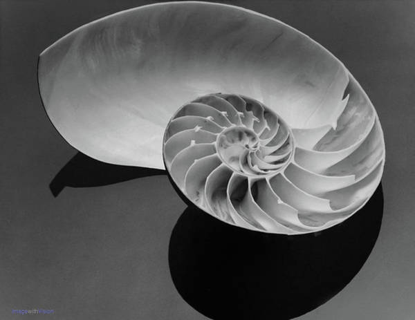 Photograph - Chambered Nautilus On The 1/2 Shell 1979 by Rich Ackerman