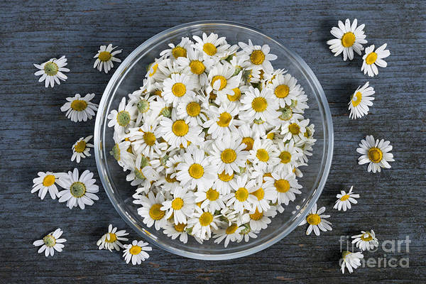 Photograph - Chamomile Flowers In Bowl by Elena Elisseeva