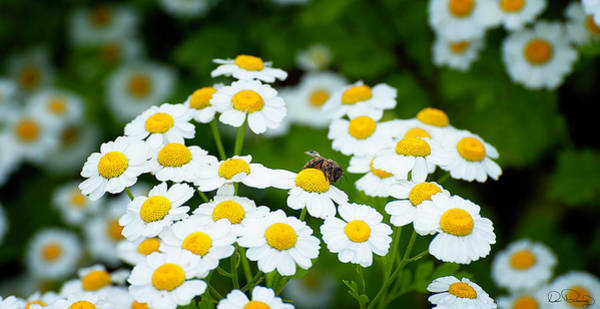 Photograph - Chamomile Pollinating by Dee Browning