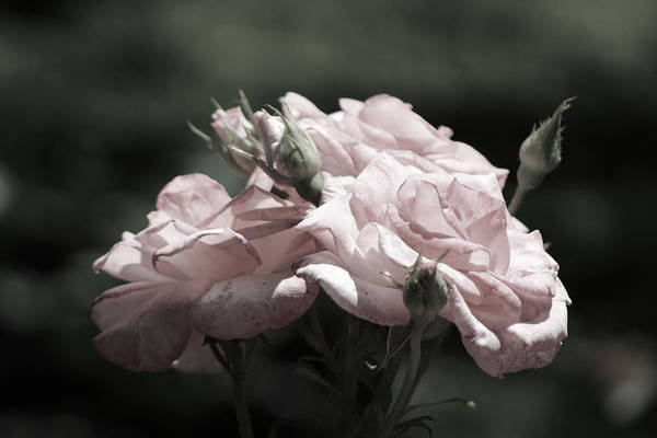 Photograph - Champagne Blush Roses In Chicago Botanical Garden by Colleen Cornelius