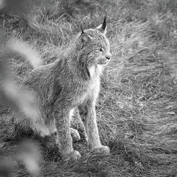 Photograph - Champion Mama Lynx Bw by Tim Newton