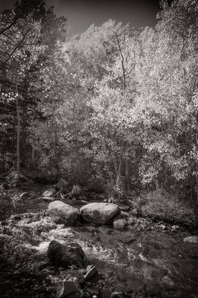 Photograph - Changing Aspens Along Bishop Creek In Black And White by Lynn Bauer