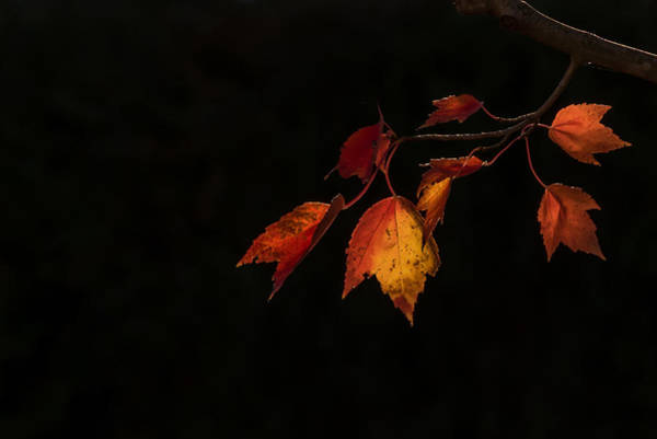 Photograph - Changing Color Fall Maple Leaves On Black by Terry DeLuco