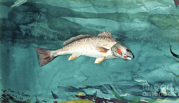 Wall Art - Painting - Channel Bass, 1904  by Winslow Homer