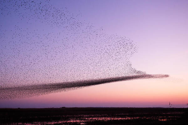 Oneness Photograph - Chaos In Motion - Starling Murmuration by Roeselien Raimond