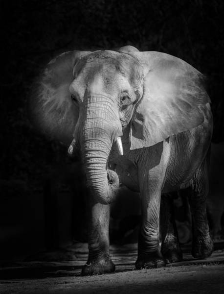 Photograph - Charging Elephant by Ken Barrett