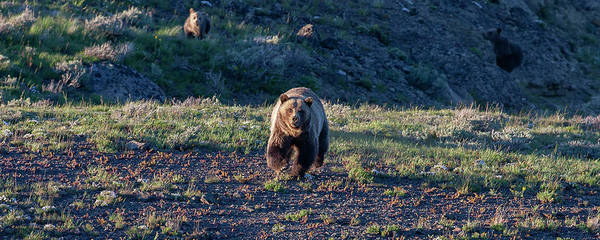 Photograph - Charging Grizzly  by Mark Miller