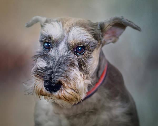 Schnauzer Photograph - Charlie - Dog Portrait - Schnauzer by Nikolyn McDonald