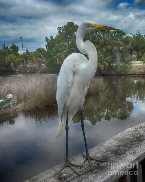 Photograph - Charlie The Great Egret by Judy Hall-Folde