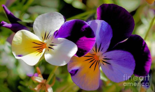 Photograph - Charming Viola 2 by Victor K