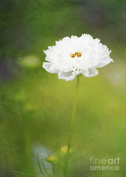 Photograph - Charming White Cosmos by Anita Pollak