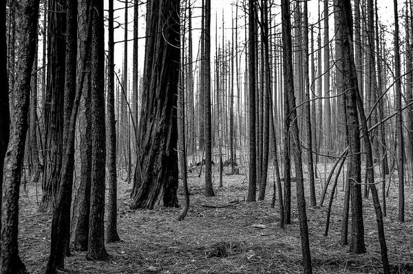 Forest Fire Photograph - Charred Trees by Ralph Vazquez