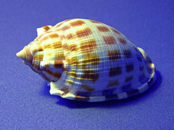 Photograph - Checkered Helmet Seashell by Frank Wilson