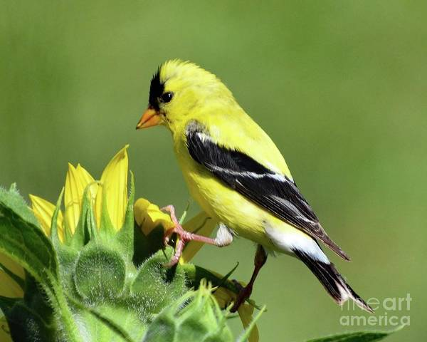 Wall Art - Photograph - American Goldfinch Checking Out The Sunflower  by Cindy Treger