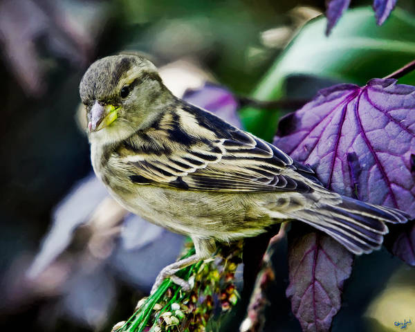 Photograph - Cheeky Sparrow by Chris Lord