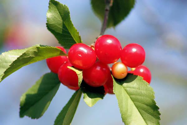 Photograph - Cheery Cherries by Kristin Elmquist