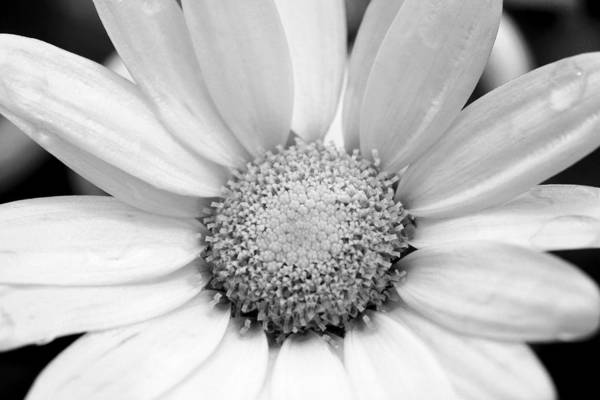 Photograph - Cheery Daisy - Black And White by Angela Rath