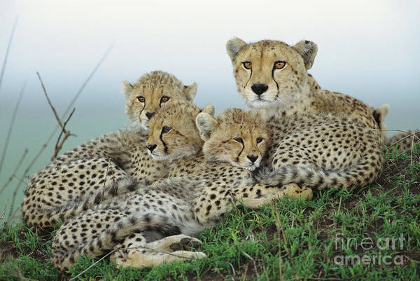 Mp Photograph - Cheetah And Her Cubs by Yva Momatiuk John Eastcott
