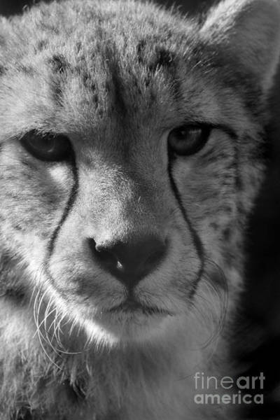 Photograph - Cheetah Black And White by Karen Adams