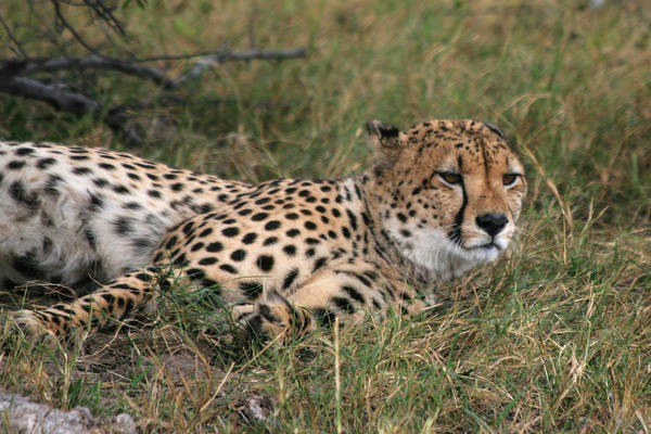 Photograph - Cheetah Close Up by Karen Zuk Rosenblatt