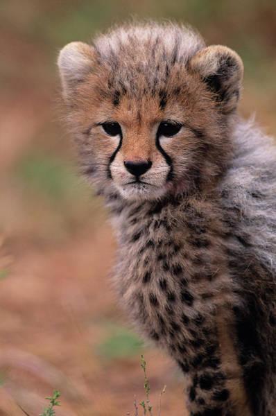 Wall Art - Photograph - Cheetah Cub (acinonyx Jubatus) On Savannah, Kenya by Anup Shah