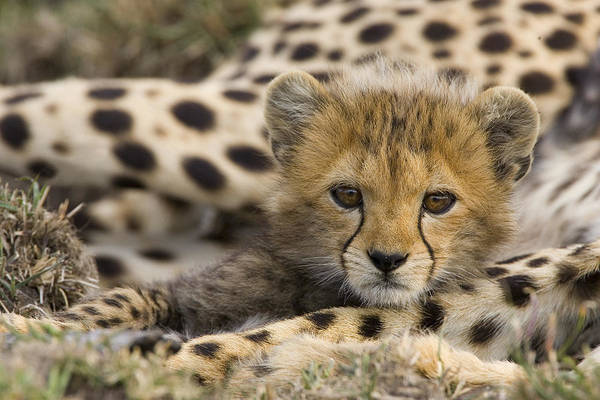 Mp Photograph - Cheetah Cub Portrait by Suzi Eszterhas
