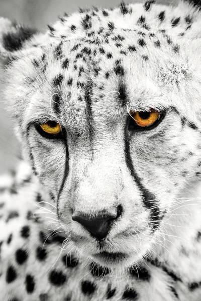 Photograph - Cheetah Eyes by Don Johnson